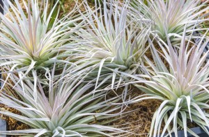 Tillandsia plants for sale at the nursery