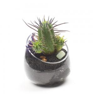 The Beatlejuice Euphorbia Kit