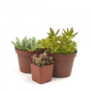 The Succulent Threesome - Three Succulent Plants of Your Choice