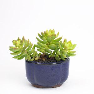 Bonsai Crest in blue pot with golden sedum. Succulent bonsai DIY kit from Juicykits