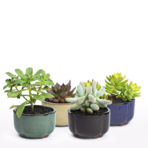Bonsai Crest succulent bonsai DIY kit from Juicykits