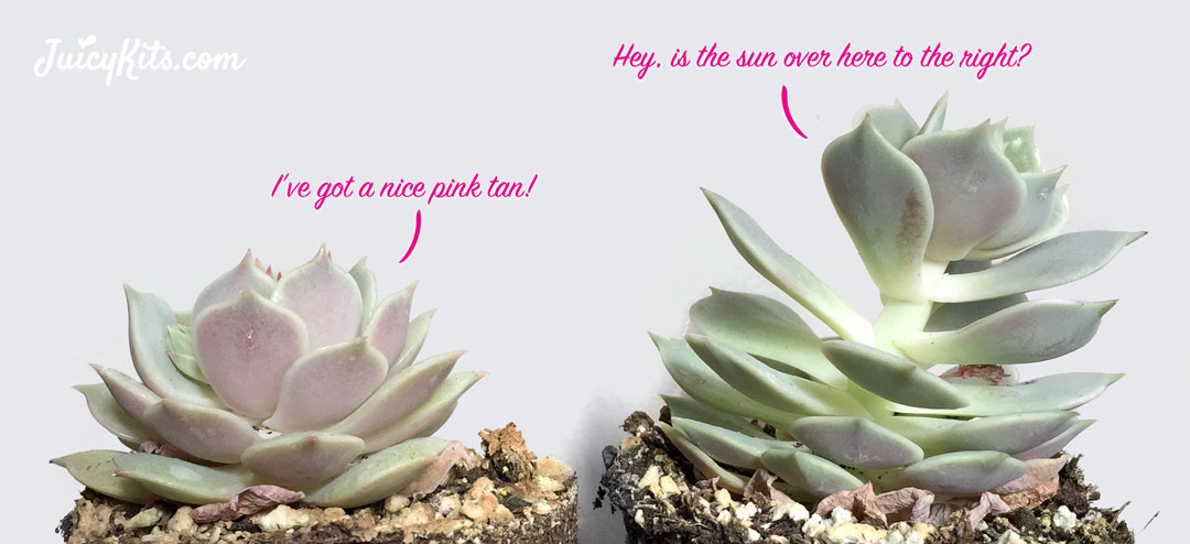 28 best how much sun do succulents need succulent