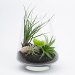The Arrowhead Air Plant Terrarium with Black Sand