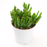 """22. Coral Jade (Crassula ovata """"Coral"""")"""