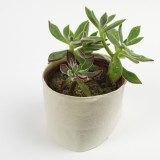 17. Plush Plant (Echeveria harmsii)
