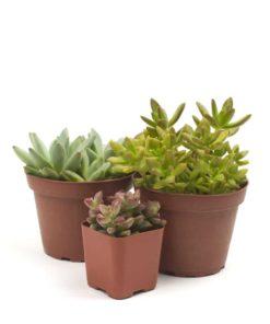 trio-succulent