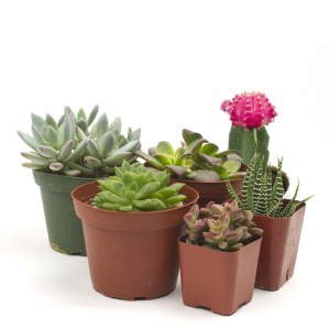Succulent Six Pack - 6 succulents of your choice