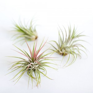 3 Tillandsia Ionantha Air Plants  from Juicykits.com