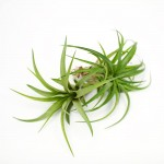 A pair of terrarium air plants, Tillandsia Brachycaulos Abdita, for sale at juicykits.com