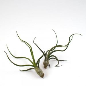 The Bulbosa Buddies, a pair of tillandsia bulbosa air plants for sale on Juicykits.com