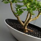 Bonsai Boat, boat shaped succulent bonsai DIY kit