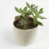 Plush Plant Echeveria