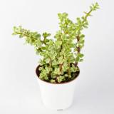 21. Mini Variegated Jade (Elephant Bush)