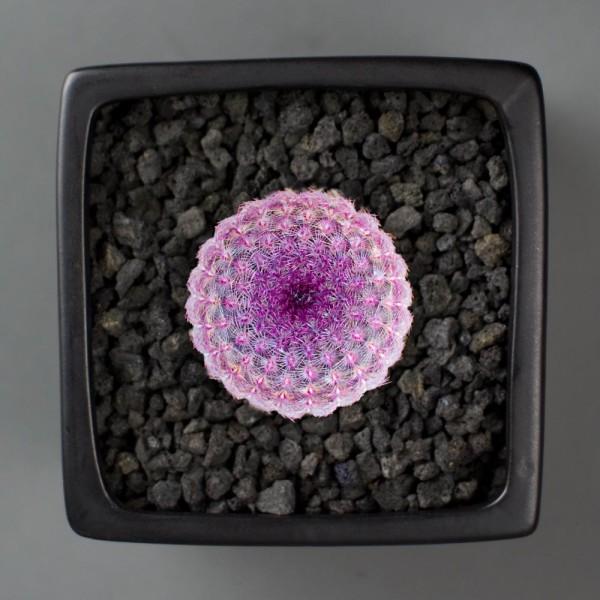 Purple Rainbow Hedgehog Cactus Kit from Juicykits