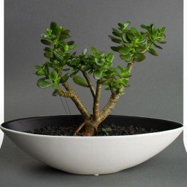 DIY Bonsai Succulents DIY Kits by Juicykits