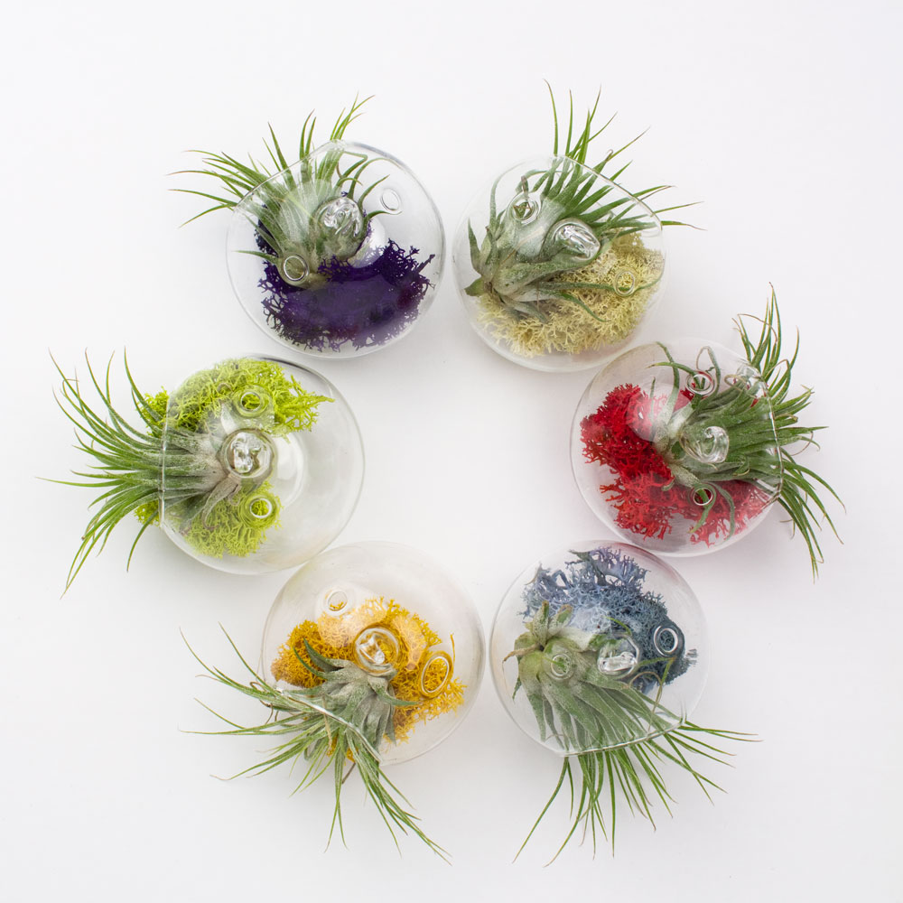 Air Plant Terrarium Juicy Froots Hanging Air Plant Terrarium Gift Juicykitscom