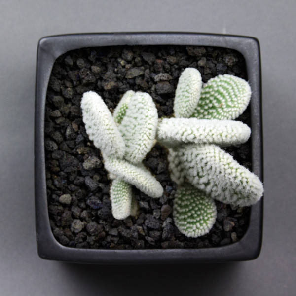 Rare Angel Wings Cactus (Opuntia microdasys albata) DIY kit at Juicykits.com
