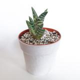37. Variegated Aloe (Aloe variegata)
