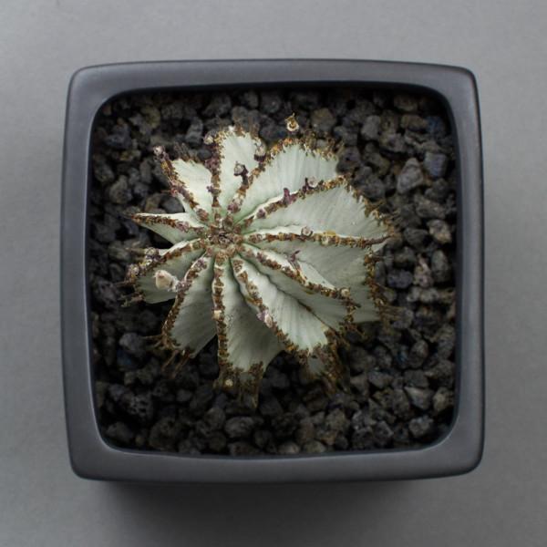 Top view of euphorbia polygona snowflake