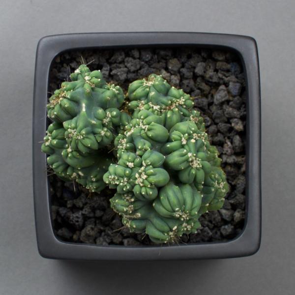 Ming Thing Cactus