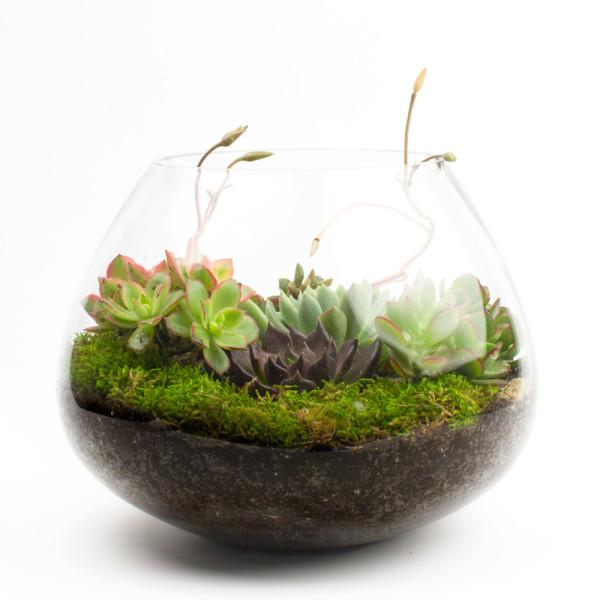 Big Ol' Dollop DIY succulent terrarium kit by Juicykits.com