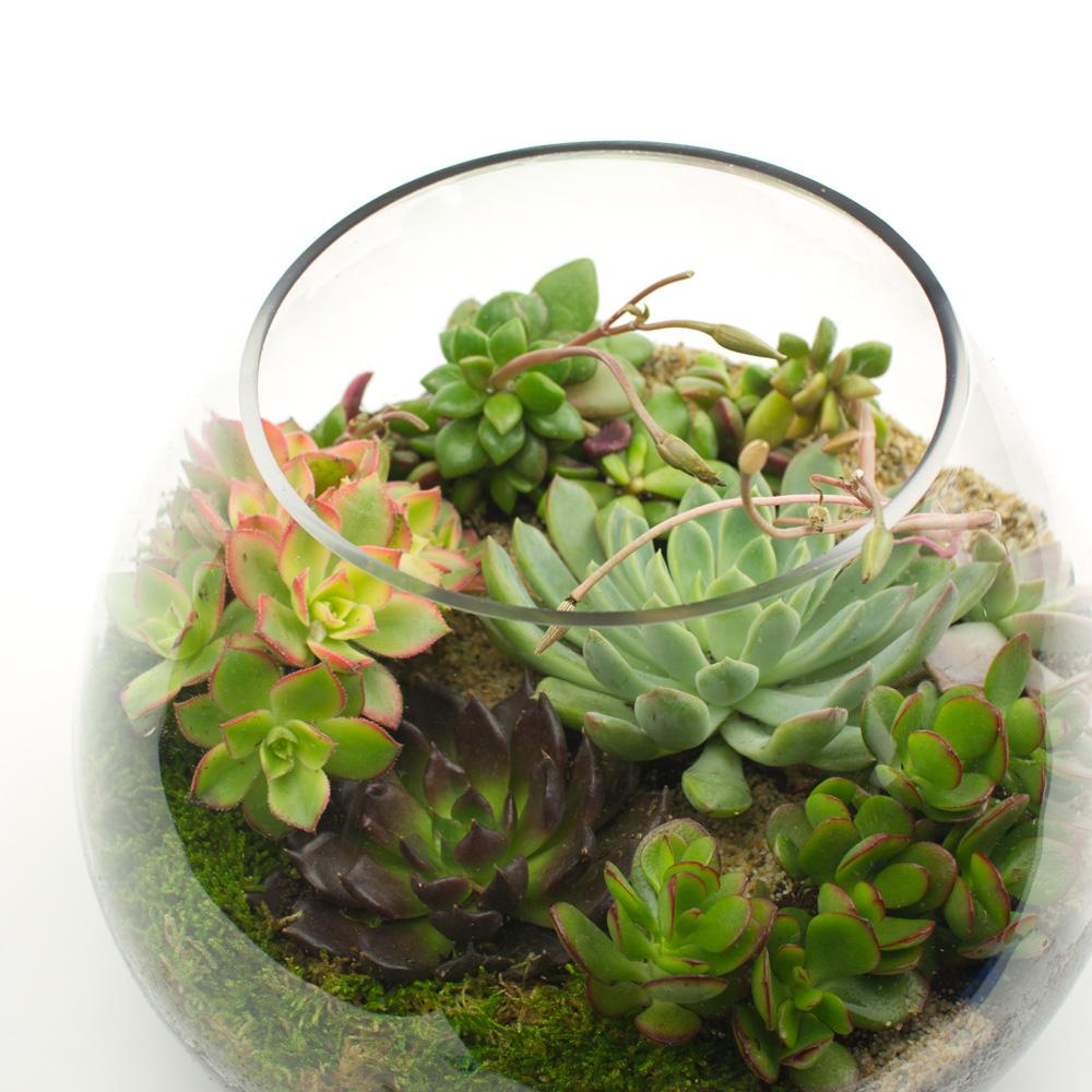 Big Ol' Dollop DIY Succulent Terrarium Kit | Juicykits.com