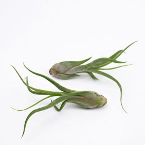 Tillandsia caput-medusae, Medusa's Head air plants