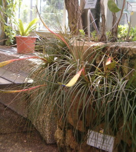 Tillandsia tricolor photo via Wikimedia