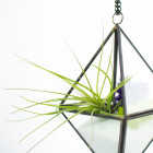 The Stella DIY terrarium for tillandsia air plant