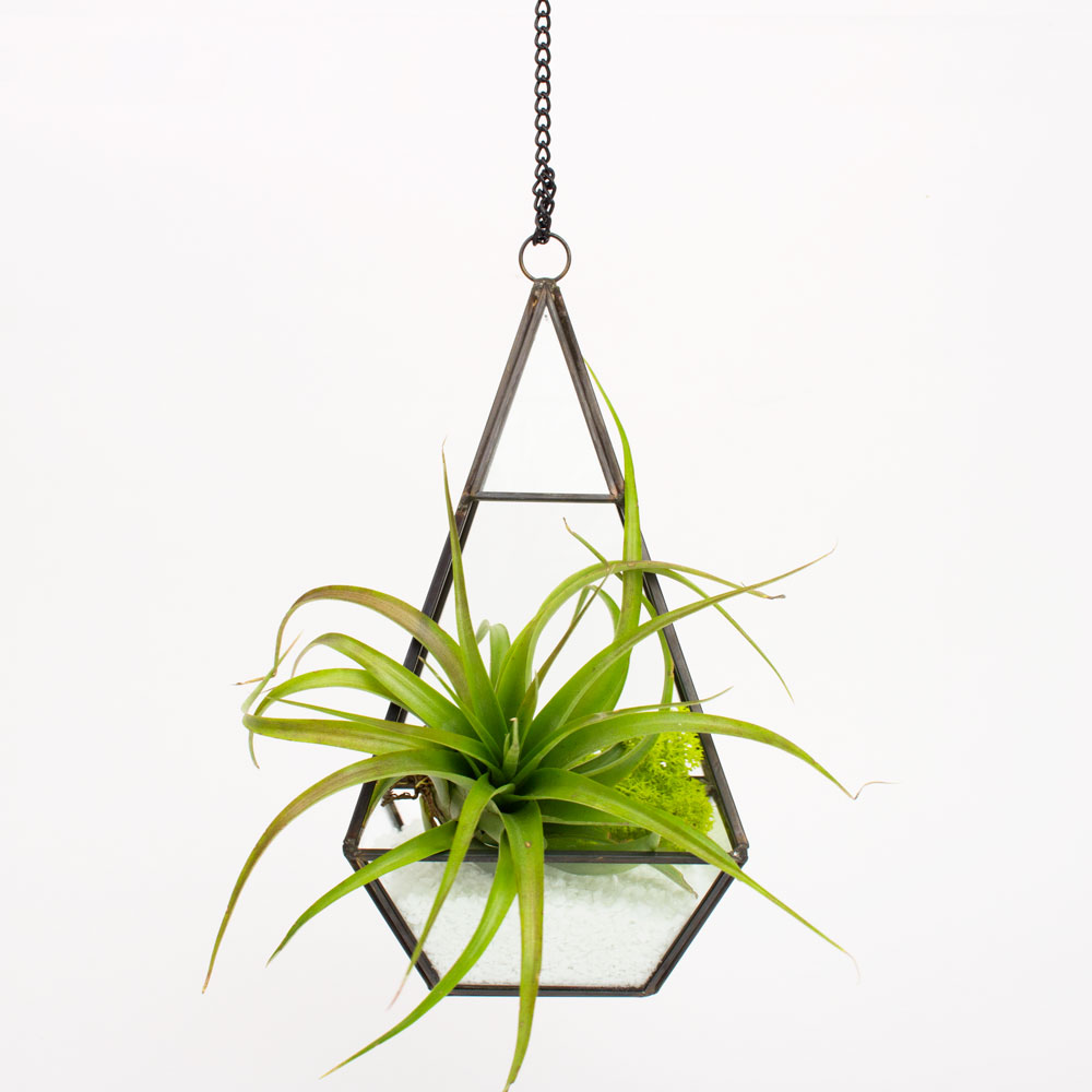 Air Plant Terrarium The Trinity Hanging Air Plant Diy Terrarium Juicykitscom