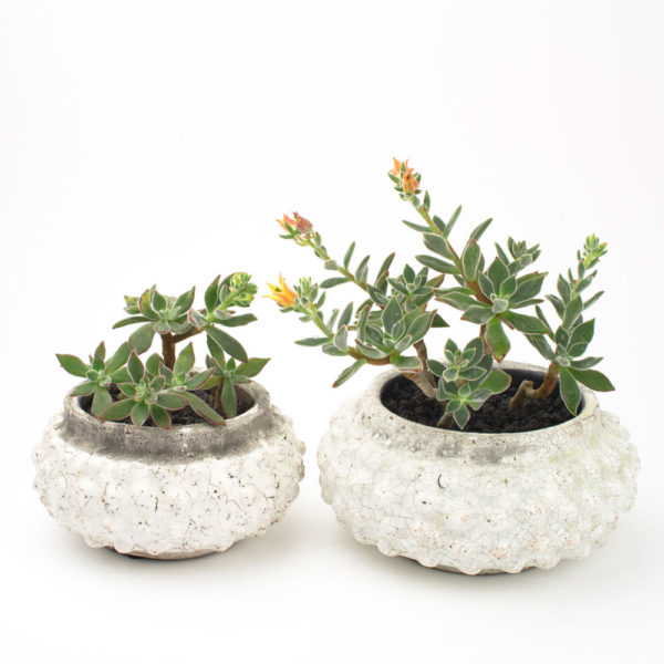 2 Sizes of Bonsai Bodhi DIY succulent planter with plush plant echeveria