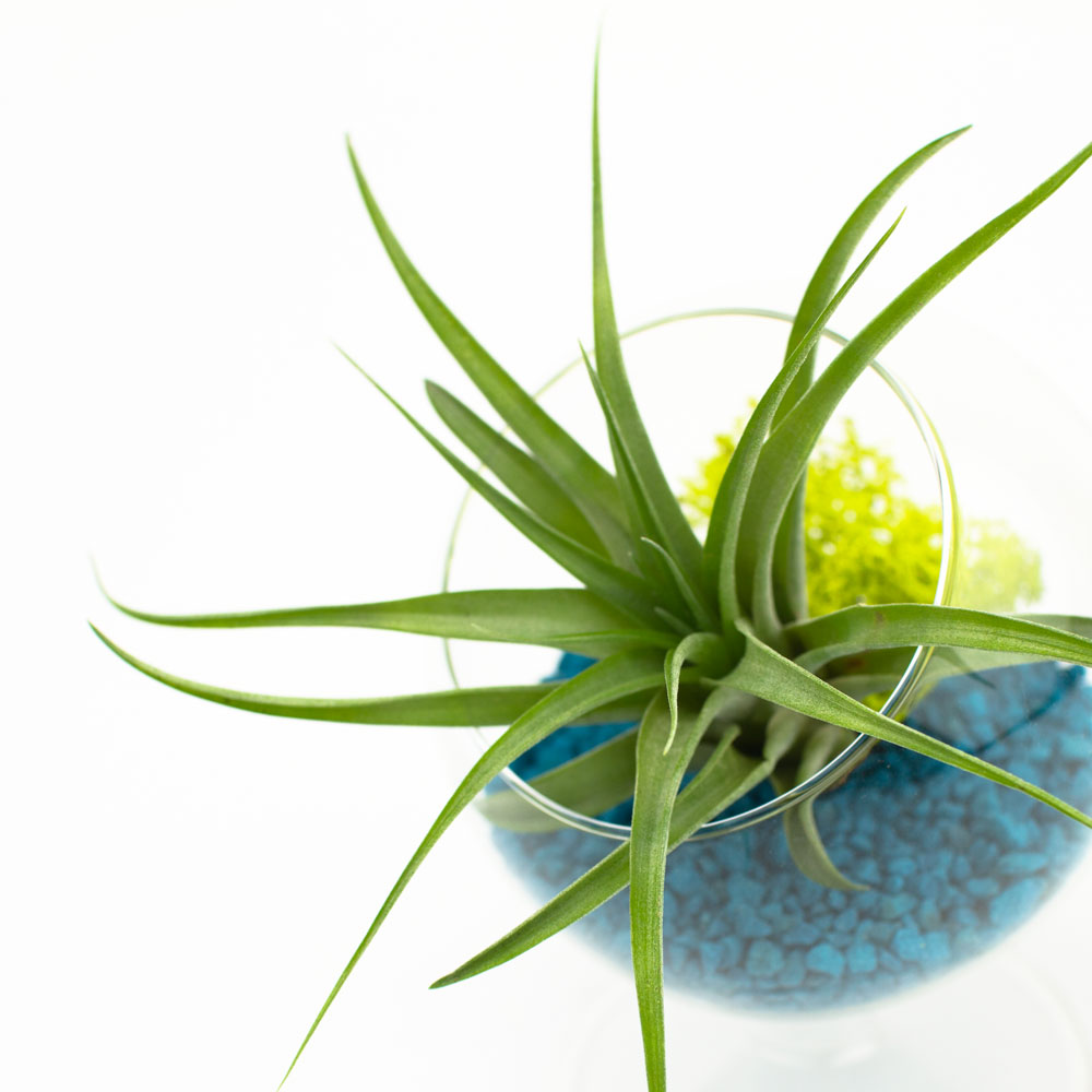 Air Plant Terrarium Juicy Gumdrops Air Plant Terrarium Diy Kit Juicykitscom