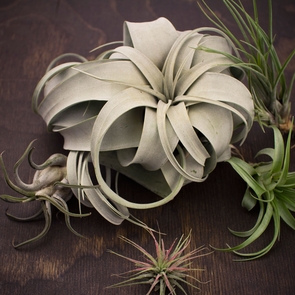 Tillandsia Xerographica Air Plants For Sale